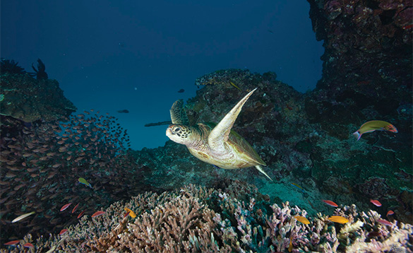 Turtle swimming great barrier reef/