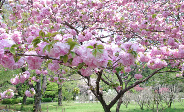 Pink cherry blossom on a tree./