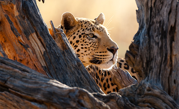 Leopard behind a tree stump looking intently into the distance/