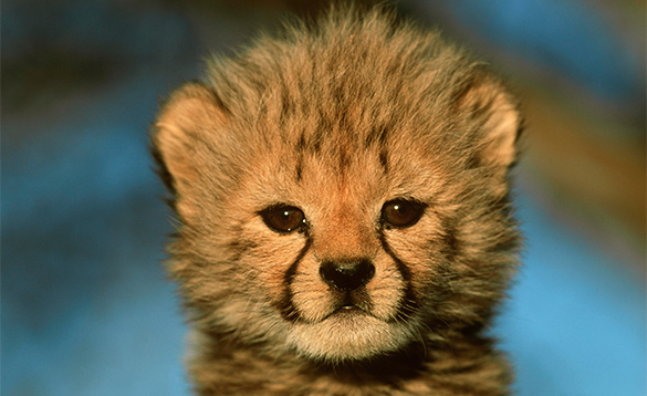 Close up of a baby cheetah's face./