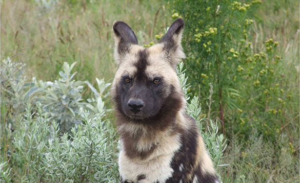 African wild dog sitting in grassland/