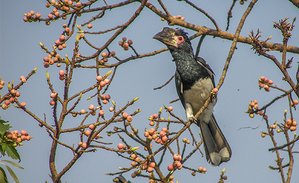 black bird with white underbelly and long tail feathers perched in a tree with red berries on it/