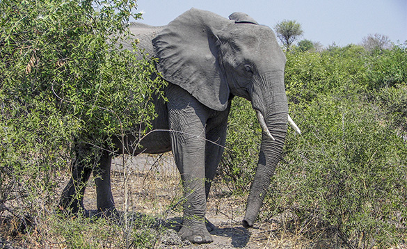 grey elephant walking through trees in Africa/