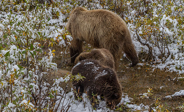 Bear family feeding Denali National Park/