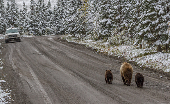 Bear family on road to Kantishna/