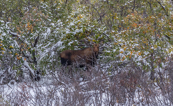 Moose in bush Denali/