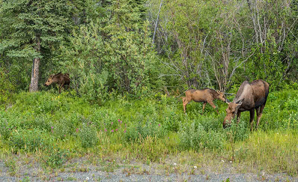 Moose grazing on the edge of a forest/