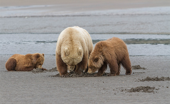 Grizzly bear and two cubs digging in sand in Alaska/