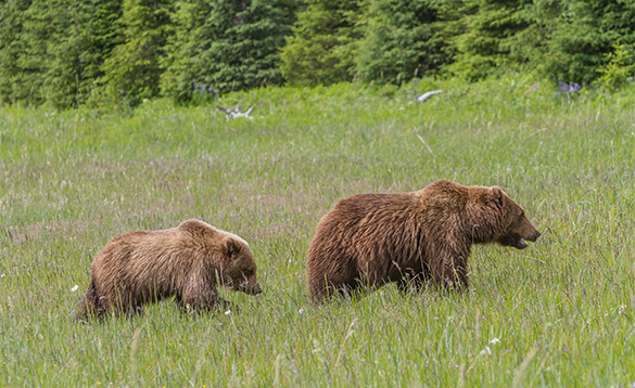 Grizzly bear mother and cub walking through long grasses in Alaska/