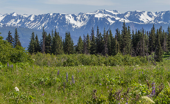 View across grassland to fir trees at the foot of snow capped mountains in Alaska/