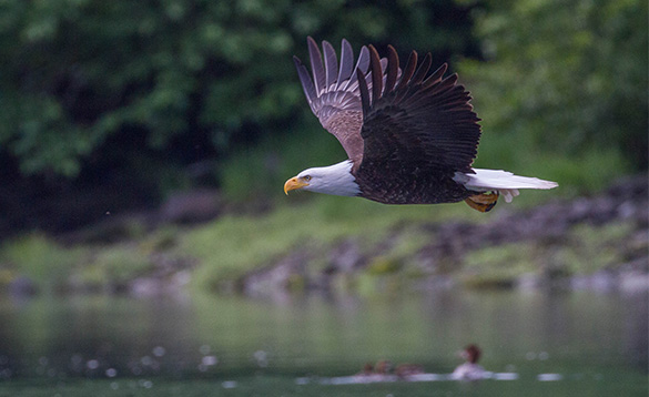 Bald eagle flying over water in Alaska/