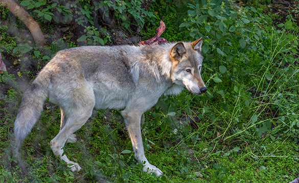wolf standing beside some green undergrowth/