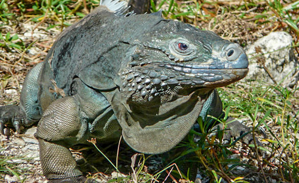 green iguana with scaly body and spines running down its tail/