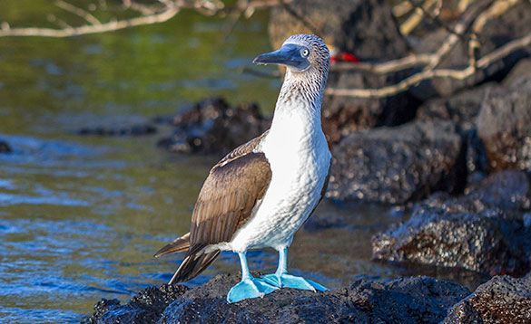 blue footed booby bird with brown wings, white chest and brown and white speckled head/