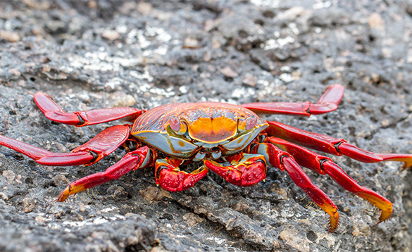 brightly coloured red, blue and orange patterned crab with red legs/