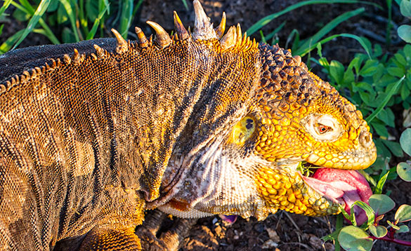 close up of the head of an iguana eating/