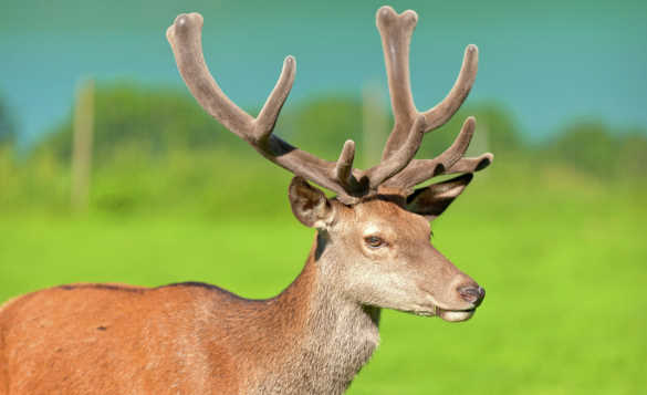 Close up of a brown reindeer stag with full antlers in Norway/