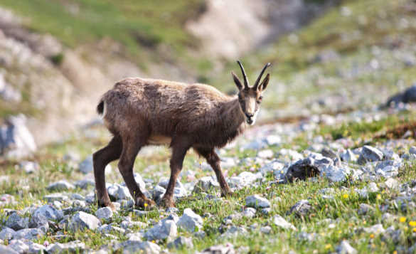A chamois, a small brown goat/antelope cross in the Swiss National Park/