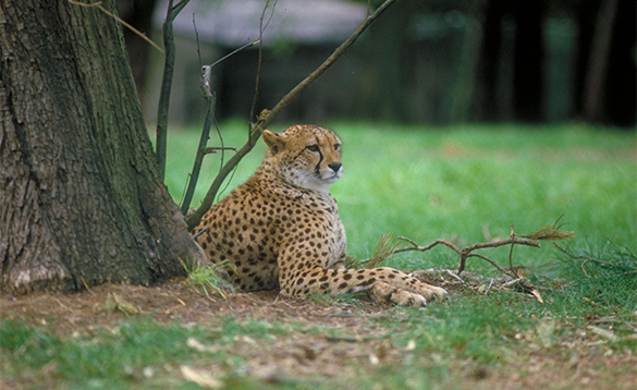 Cheetah sheltering under a tree at Fota Wildlife Park in Co Cork/