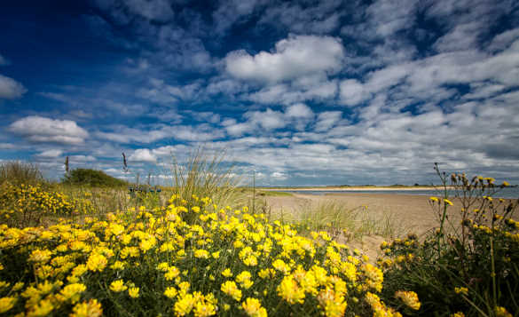 View across yellow flowers to the sandy beach at Malahide, Co Dublin/