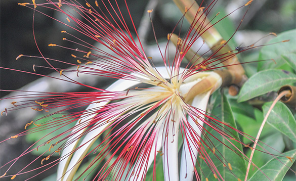 Flower of the Pachira aquatica tree with long, narrow red and white petals that open like a banana peel to reveal hairlike yellowish orange stamens/