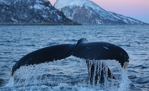 Humpback Whale at Lauklines/
