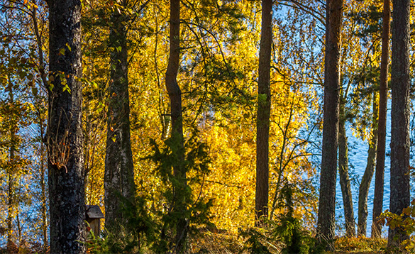 trees with yellow autumnal leaves/