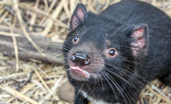 close up of the head of a Tasmanian Devil with black fur and brown eyes/