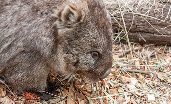 close up of the head of a wombat/