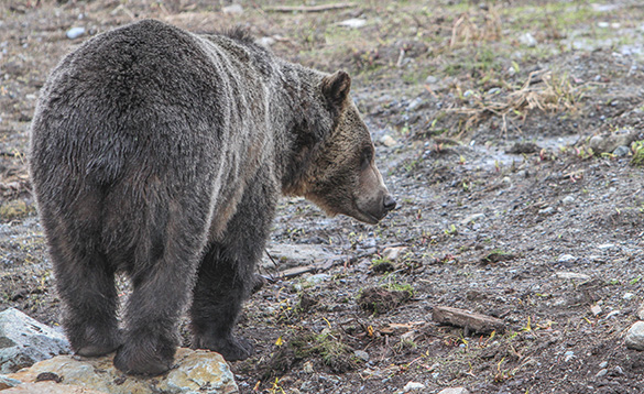 bear from behind walking along a dirt track/