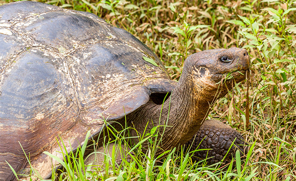 head and forelegs of a giant tortoise eating grass/