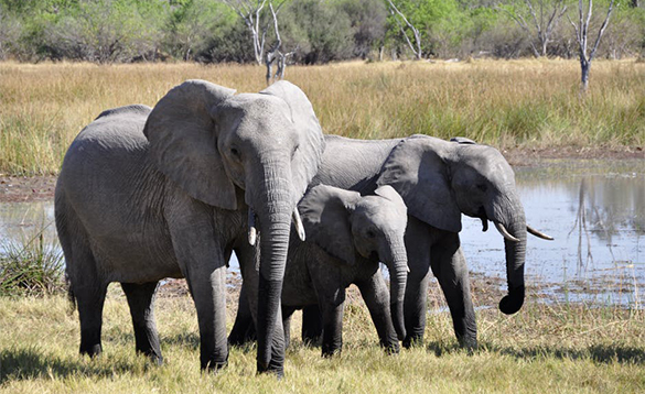 Family of elephants beside a watering hole in Africa/
