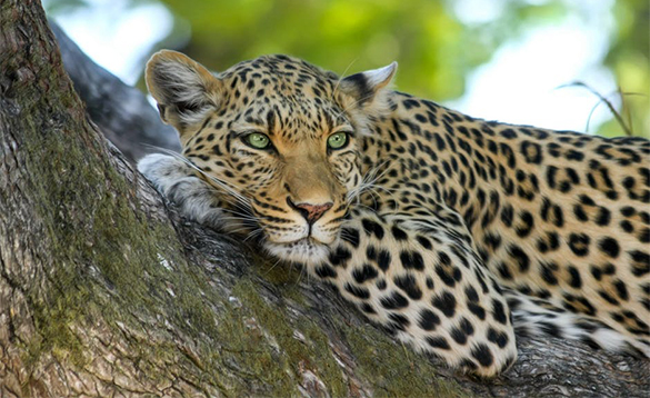 Leopard relaxing in a tree in Africa/