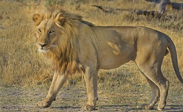 Lion walking through dry grassland in Africa/