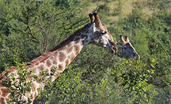 Two giraffes eating leaves from trees/