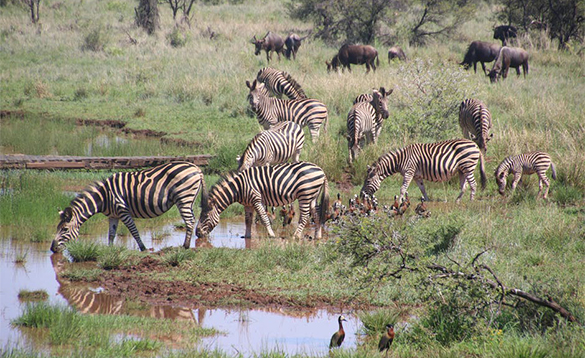 Herd of zebra drinking from a watering hole/