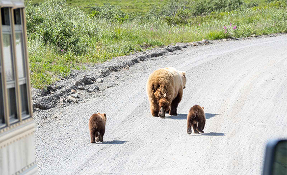 Bear and two cubs walking down a road in Alaska/
