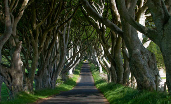 Twisted beech trees interlinked and forming a tunnel over a road in Northern Ireland/