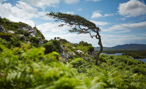 Tree on a rocky hillside blown into a twisted shape by the Atlantic Ocean winds/