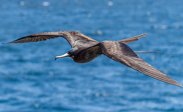 frigate bird gliding through the air with large black feathered wings and long tail feathers and long white hooked beak/