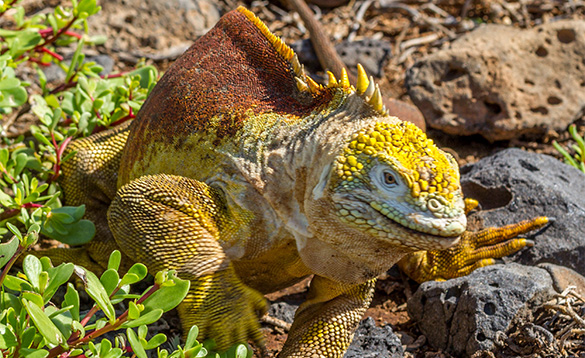 iguana with birght yellow scaly skin on legs and under body, bright orange back with yellow spines down the back and tail and knobbly yellow lumps on the head/