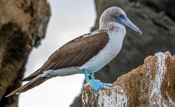 blue footed booby bird standing on a rock with pale blue legs and webbed feet, brown wings, white chest and brown and white speckled head/