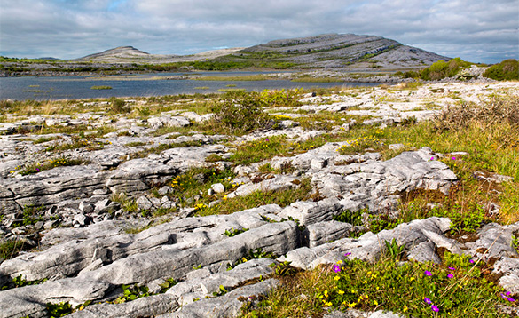 Grasses and flowers growing amongst the rocky landscape of the Burren in Ireland/