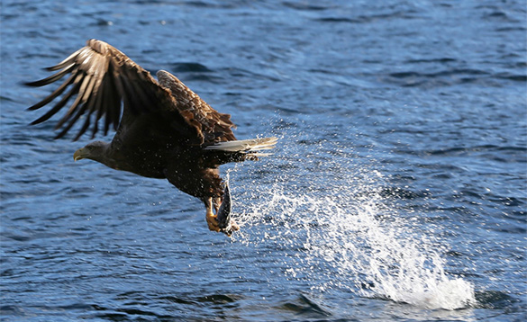 sea eagle in flight after just taking a fish in it's talons out of a fjord/
