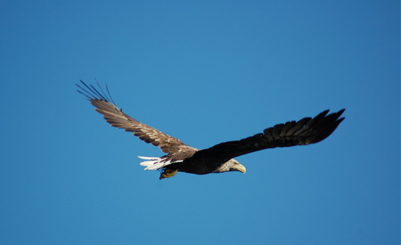 sea eagle with brown feathers, white tail feathers and tan coloured head gliding through the sky/