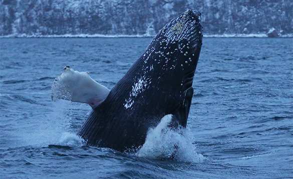 humpbacked whale breaking out of the waters of a fjord in Norway/