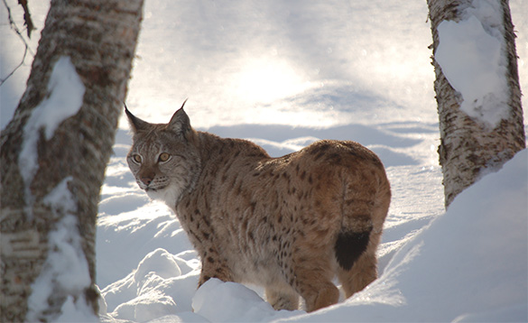 lynx standing in snow with goldish brown body with spots and short tail with black at the end, yellow eyes and pointed ears/