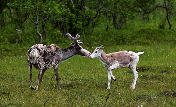 reindeer with young reindeer standing on grass in Norway/