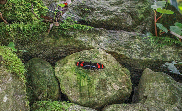 Black and red butterfly on a rock./