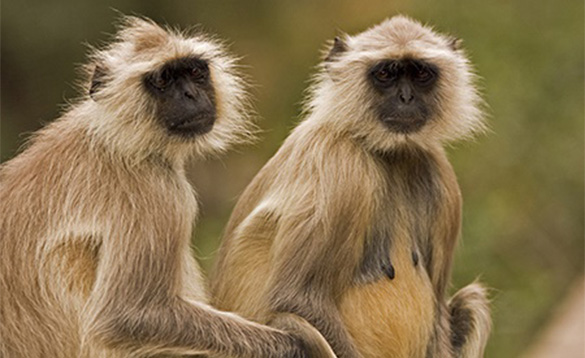 Couple of Langur monkeys in India/